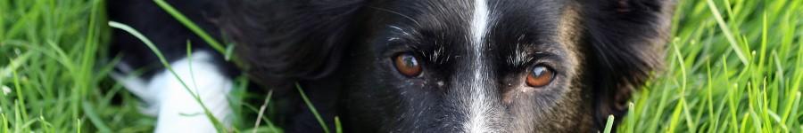 3/4 dog 100% Border Collie
